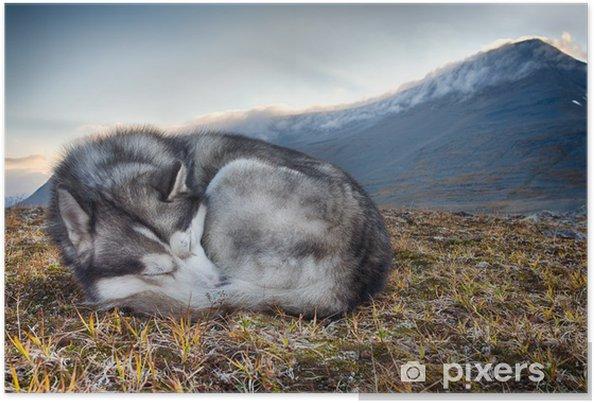 Poster Siberian Husky dormir dans les montagnes - Husky