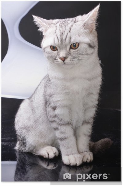 94782707a5 silver tabby Scottish cat against white and black background Poster ...