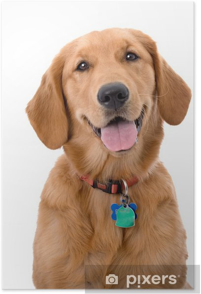 Six Month Old Golden Retriever on White Background Poster - Mammals