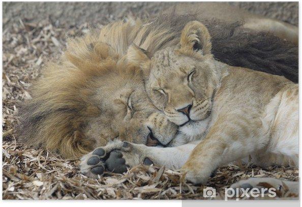Poster Sleeping Lion et lionne - Thèmes