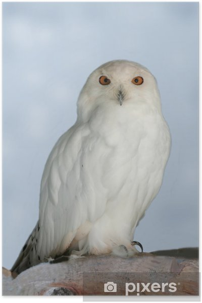 Poster Snowy owl - Thèmes