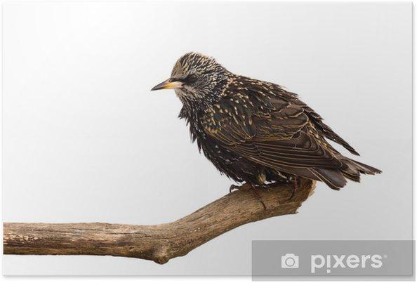 Poster Spreeuw onderzoekt het gebied voor voedsel - Vogels