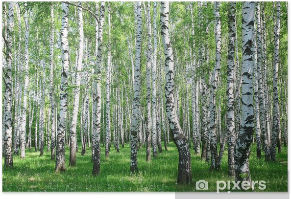 Spring birch forest with fresh greens Poster - Styles
