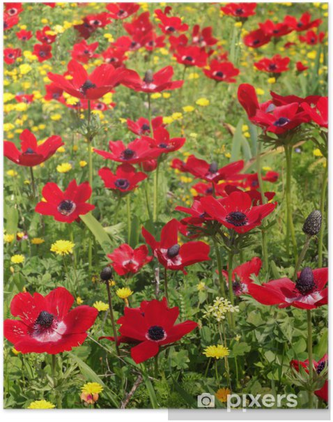 spring field of red poppies Poster - Themes