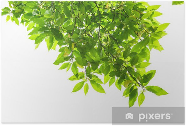 Spring Leaves Of White Magnolia Tree Poster Pixers We Live To