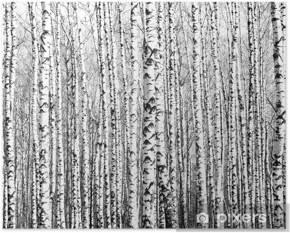 Spring trunks of birch trees black and white Poster - Styles
