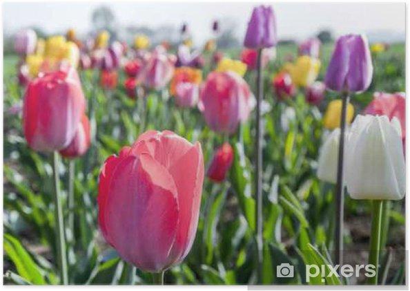 Poster Spring veld met bloeiende kleurrijke tulpen - Bloemen en Planten