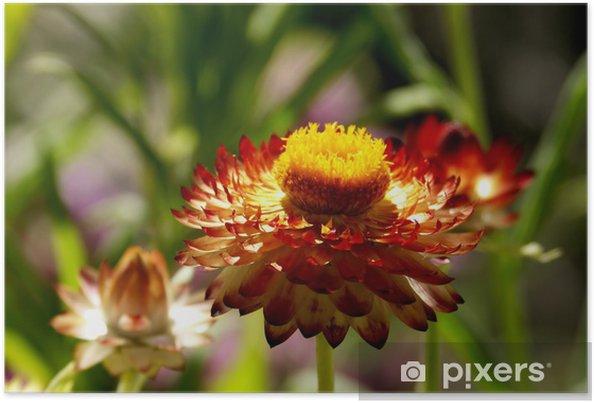 Poster Strawflower brûlée orange, sous un soleil radieux - Fleurs