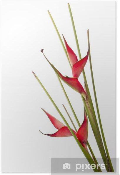 Poster Strelitzia - Fleurs