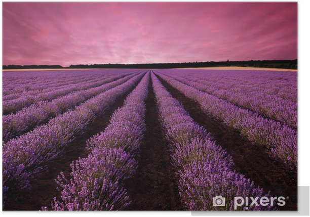 Stunning lavender field landscape at sunset Poster - Themes