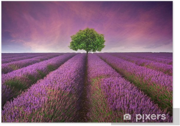 Stunning lavender field landscape Summer sunset with single tree Poster -