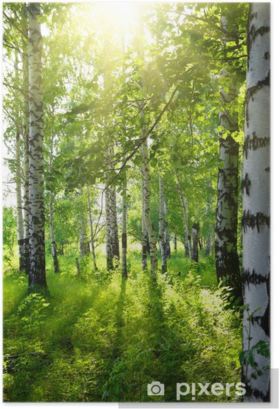 summer birch woods with sun Poster - Destinations