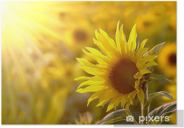 Sunflower on a meadow in the light of the setting sun Poster - Themes
