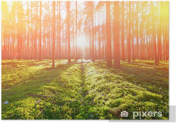 Sunrise in pine forest Poster - Forests