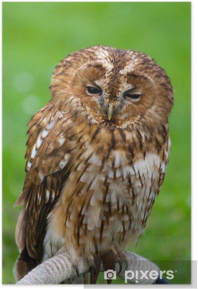 tawny owl Poster - Birds