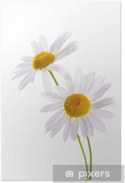 The beautiful daisy isolated on white Poster - Flowers