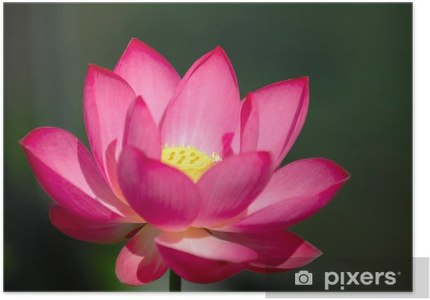 The Blooming Pink Lotus Flower Poster Pixers We Live To Change