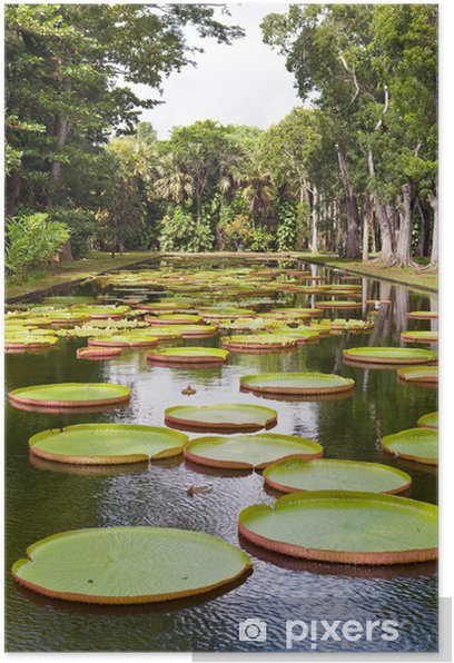 The lake in park with Victoria amazonica,Victoria regia. Poster - Africa