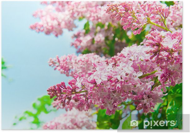 The lilac flowers Poster - Plants