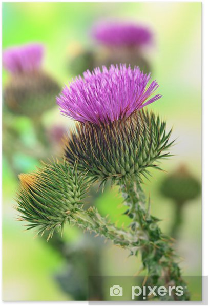 Thistle flowers on nature background Poster