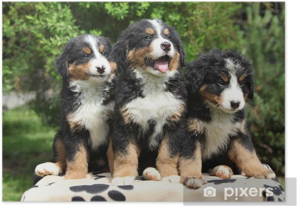 Three Bernese Mountain Dog Puppies Sitting Poster