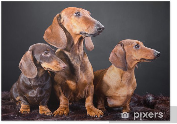 three red and chocolate dachshund dogs Poster - Mammals