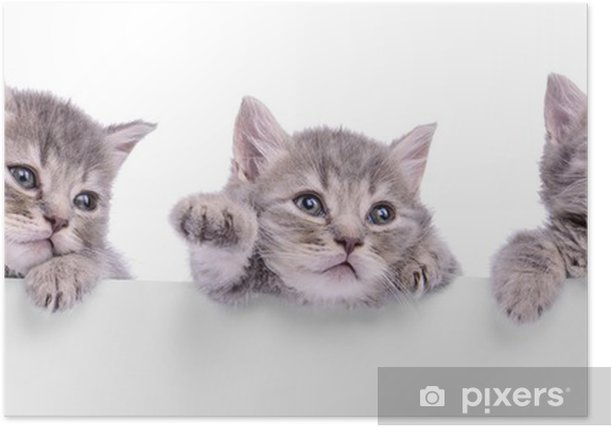 three Scottish kitten Poster - Themes