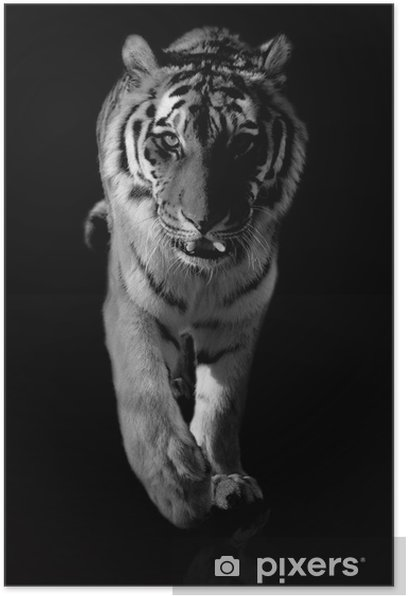 tiger black and white Poster - Themes