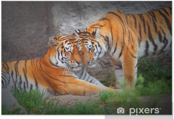 Tiger's couple. Love in nature. Poster - Themes
