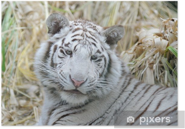 Poster Tigre blanc a l'air jeune - Mammifères