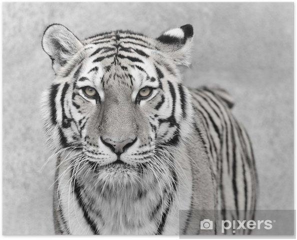 Poster Tigre de l'Amour (Panthera tigris altaica) - Animaux