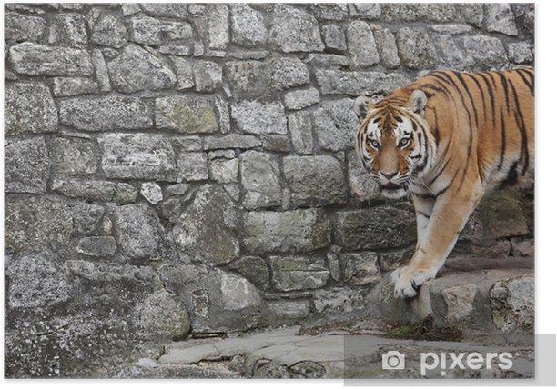Poster Tigre de Sibérie dans son territoire - Mammifères