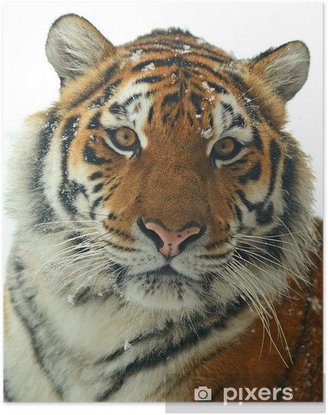Poster Tigre de Sibérie - Mammifères