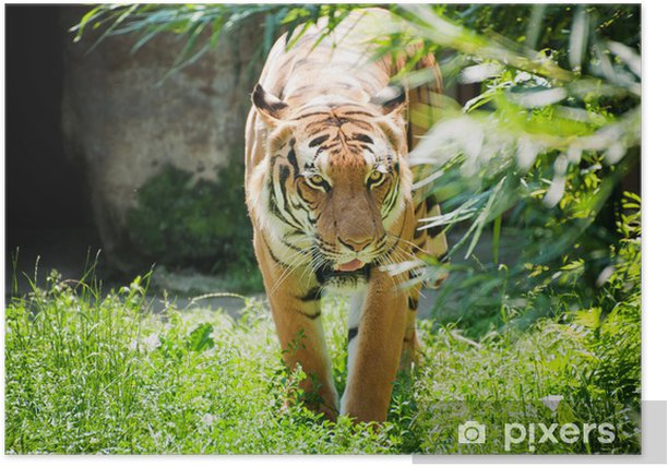 Poster Tigre malais - Mammifères