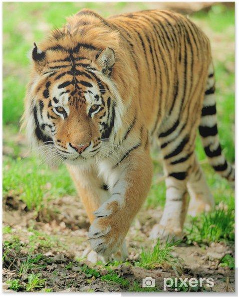 Poster Tigre - Mammifères