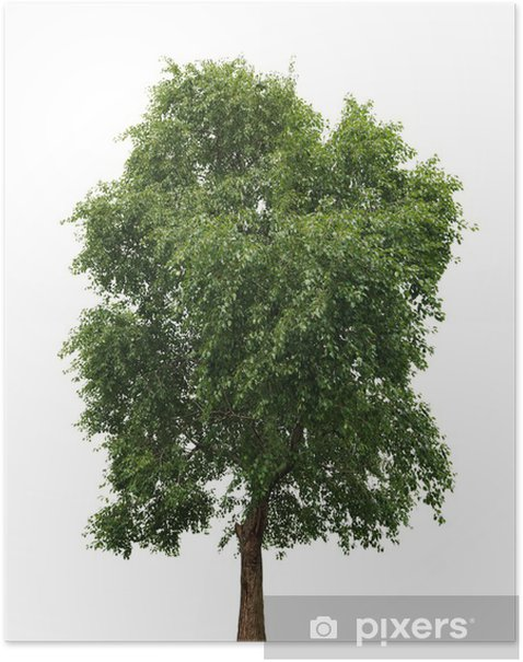 Tree isolated against a white background Poster - Trees