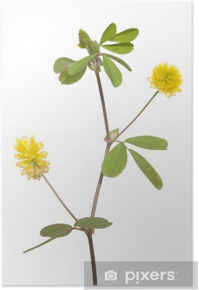 Poster Trèfle jaune - Plantes