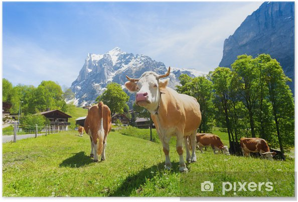 Poster Troupeau de vaches - Europe