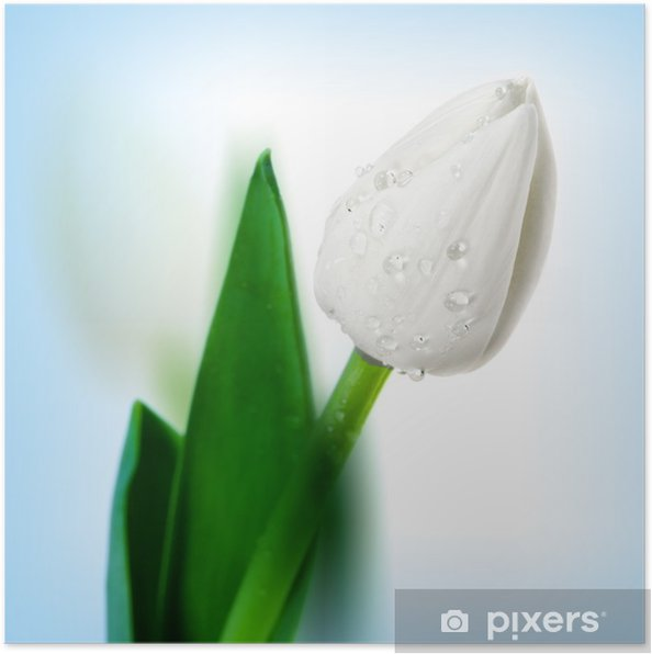 Poster Tulipe belle fleur avec des gouttes d'eau - Fleurs