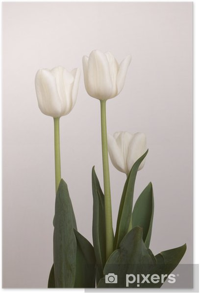 Poster Tulipe blanche - Fleurs
