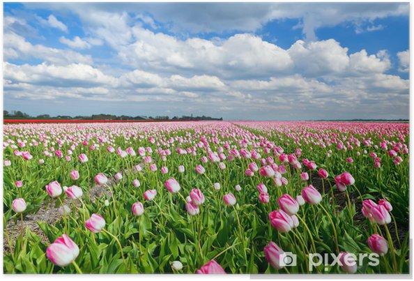Poster Tulipes roses crémeuses sur terrain néerlandais et ciel bleu - Thèmes