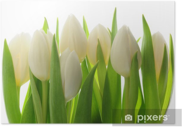 Tulips Poster - Themes
