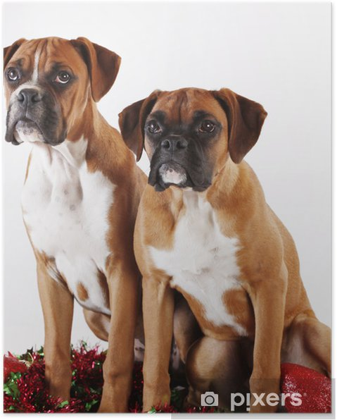 Cute Christmas Puppies.Two Cute Christmas Boxer Puppies Poster
