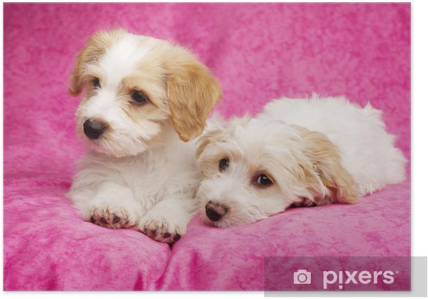 Two puppies laid on a pink background Poster - Mammals