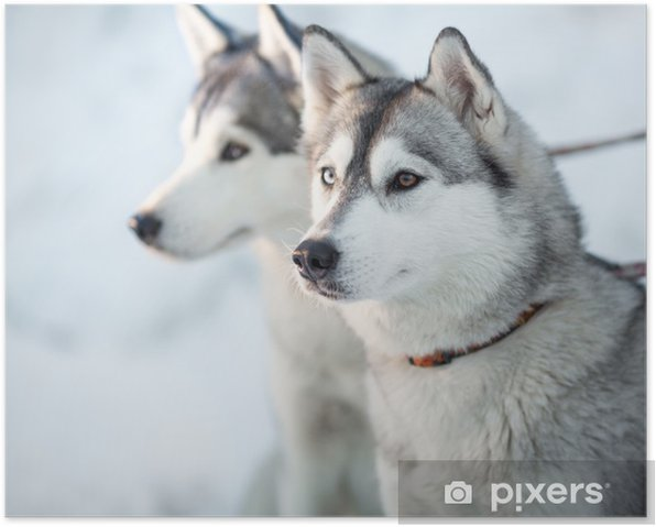 Two siberian husky dogs closeup portrait Poster - Dogs