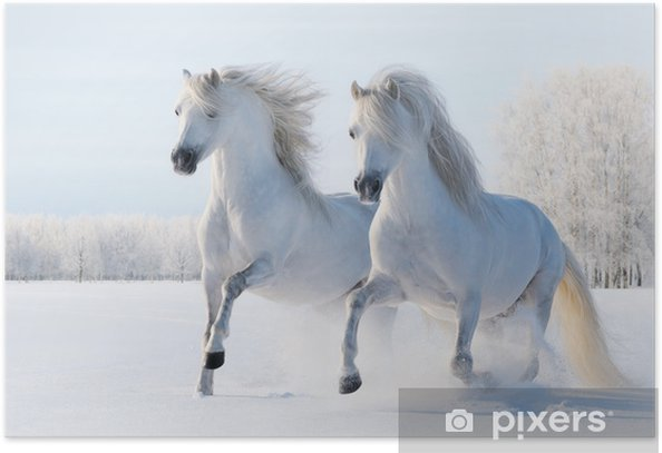 Two white horses gallop in the snow Poster - Styles