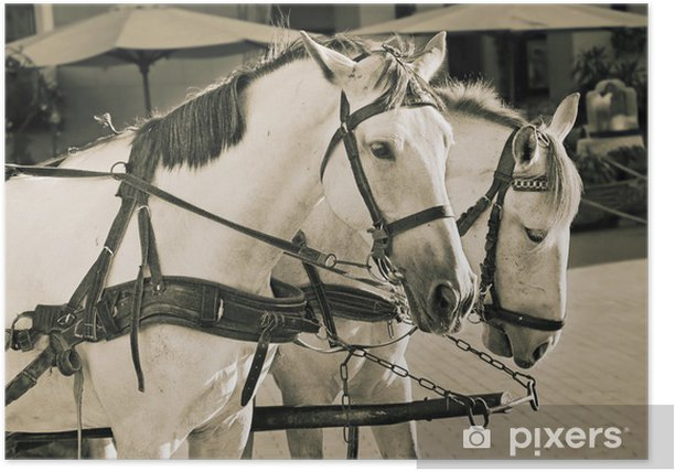 Two white horses Poster - Mammals