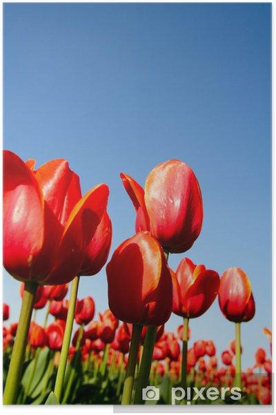Poster Un champ de belles tulipes rouges tourné de l'angle faible - Thèmes
