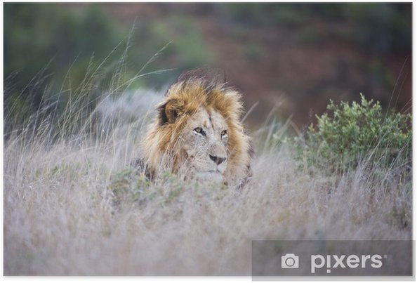 Poster Un grand lion mâle réside dans l'herbe longue - Mammifères