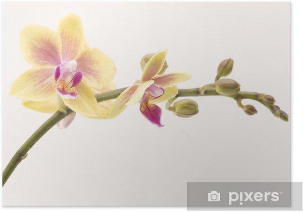 Póster Una orquídea amarilla en contraste con un fondo liso - Flores